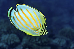 Ornate Butterfly Fish Royalty Free Stock Photo