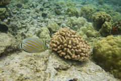 Ornate Butterflyfish Stock Photos