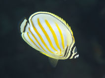 Ornate butterflyfish Royalty Free Stock Image