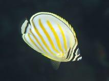 Ornate butterflyfish royalty free stock image