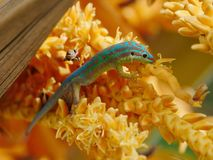Ornate day gecko. In natural habitat Stock Photography