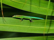 Ornate day gecko. In natural habitat in Mauritius stock photo