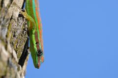 Ornate day gecko. In natural habitat royalty free stock photos