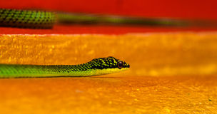 Ornate-flying snake Chrysopelea ornata in a local temple, Nakhon Ratchasima, Thailand. Royalty Free Stock Images