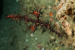 Ornate ghost pipefish in Ambon, Maluku, Indonesia underwater photo. Ornate ghost pipefish male variation Solenostomus paradoxus is swimming around Royalty Free Stock Photo