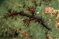 Ornate ghost pipefish in Ambon, Maluku, Indonesia underwater photo Stock Photos