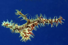 Ornate Ghost Pipefish. In blue water Royalty Free Stock Photo