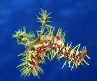 Ornate Ghost Pipefish. In blue water Royalty Free Stock Image