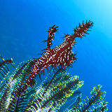 Ornate Ghost Pipefish Stock Photography