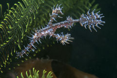 Ornate ghost pipefish, juvenile Royalty Free Stock Images