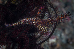 Ornate Ghost Pipefish Royalty Free Stock Photography