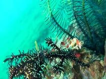 Ornate ghostpipefish Solenostomus paradoxus stock video