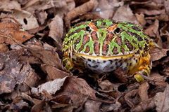 Ornate horned frog Stock Photo
