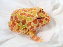 Ornate horned frog on blotting paper Stock Images