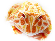 Ornate horned frog on bright background Stock Photos