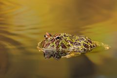 Free Ornate Horned Frog In Golden Waters Royalty Free Stock Photography - 119959777
