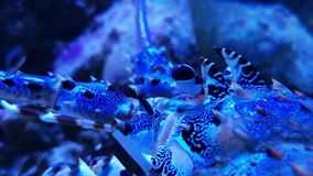 Ornate lobster spotted crustacean animal in tank stock footage