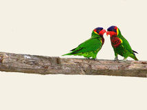 Ornate Loikeet bird parrot on the branch of tree. The ornate lorikeet is a mainly green parrot about 25 cm (10.0 in) long. Its head above its eyes is purple-blue Stock Photography