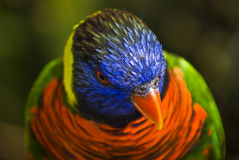 Ornate Loikeet - Head Shot. A species of parrot in the Psittacidae family. Found naturally in Indonesia and Papua New Guinea Stock Photo