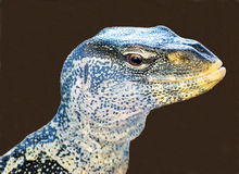 Ornate Nile monitor lizard. Close-up of a large and colourful lizard Royalty Free Stock Images