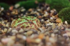 Ornate pacman frog. In the small stones stock photo