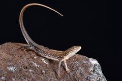 Ornate Sandveld Lizard Nucras ornata Stock Images