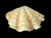 Ornate seashell Royalty Free Stock Photography