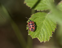 Ornate Shield Bug Stock Photos