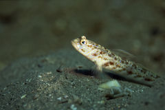 Ornate shrimpgoby Stock Image
