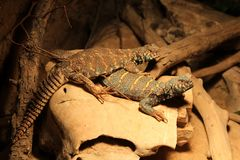 Uromastyx ornata, commonly called the ornate mastigure, is a species of lizard in the family Agamidae. The ornate spiny-tailed lizard Uromastyx ornata is a royalty free stock images