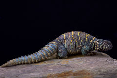 Ornate spiny-tailed lizard (Uromastyx ornata ornata) Stock Images