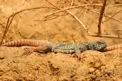 Ornate Spiny-Tailed Lizard Uromastyx ornate Stock Photo