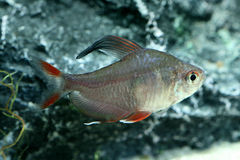 Ornate tetra (Hyphessobrycon bentosi) Stock Photo