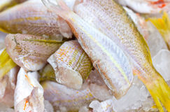 Ornate Threadfin Bream Fish. Stock Image