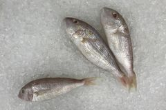 Ornate threadfin bream fish in the ice for cooking. Royalty Free Stock Image