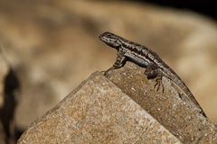 Ornate Tree Lizard, Urosaurus ornatus Stock Photo