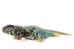 Ornate Uromastyx Stock Image