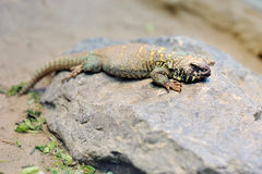 Ornate uromastyx mastigure lizard Royalty Free Stock Image