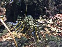Ornatus de Panulirus ou homard de langouste ou tropical fleuri de roche photos libres de droits
