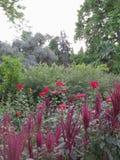 Ornazhereya avec les rosiers rouges et roses sur le fond des arbustes ornementaux Image libre de droits