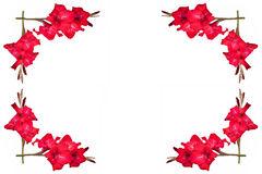Ornement des gladioluses rouges avec l'espace libre pour le texte sur un blanc Photos stock