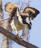 Agitated Osprey at Circle B Bar Reserve. An ornery osprey seems a bit agitated as it squawks down from his perch at the Circle B Bar Reserve in Lakeland, Florida royalty free stock images