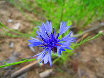 Ornflower de ¡ de Ð photos stock