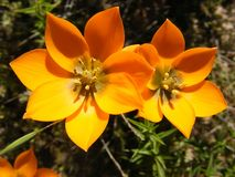 Ornithogallum orange photo stock