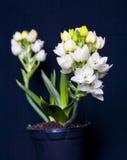 ornithogalum σπιτιών λουλουδιών Στοκ Φωτογραφίες