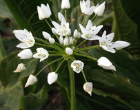 Ornithogalum caudatum. Indian onion, tailed Star of Bethlehem (Ornithogalum caudatum Stock Image