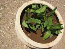 Ornithogalum con le foglie verdi prima della fioritura immagini stock libere da diritti