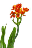 Ornithogalum Dubium flower Stock Photo