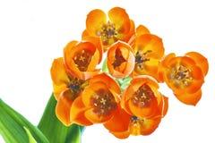 Ornithogalum Dubium flower Stock Images