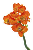 Ornithogalum Dubium flower Stock Images